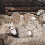 Heather & Kevin : woofing dans un élevage de moutons